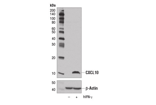 Western blot analysis of extracts from HT-29 cells, untreated (-) or treated with Human Interferon-γ (hIFN-γ) #8901 (50 ng/ml, 16 hr; +), using CXCL10 (D5L5L) Rabbit mAb (upper) and β-Actin (D6A8) Rabbit mAb #8457 (lower).