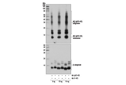 Western blot analysis of the indicated amounts of human Aβ (pE3-42) and Aβ (1-42) peptides using β-Amyloid (pE3 Peptide) (D5N5H) Rabbit mAb (upper) and β-Amyloid (1-42 Specific) (D3E10) Rabbit mAb #12843 (lower).