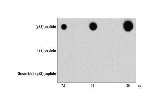 β-Amyloid (pE3 Peptide) (D5N5H) Rabbit mAb specificity is demonstrated using peptide dot blot. β-Amyloid (pE3 Peptide) (D5N5H) Rabbit mAb binds to pre-coated β-amyloid (pE3) peptide but not to β-amyloid (E3) peptide or scrambled β-amyloid (pE3) peptide.