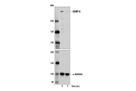 Western blot analysis of extracts from U-2 OS cells treated with Nocodazole #2190 (10 nM, 16 hr) and released from mitosis into fresh medium for indicated times using CENP-E Antibody (upper) and α-Actinin (D6F6) XP<sup>®</sup> Rabbit mAb #6487 (lower).