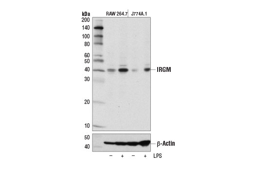 Western Blotting Image 2: IRGM Antibody (Rodent Specific)