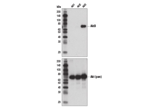 Western blot analysis of recombinant Akt1, Akt2, and Akt3 proteins using Akt3 (E1Z3W) Rabbit mAb (upper) and Akt1 (pan) (C67E7) Rabbit mAb #4691 (lower).