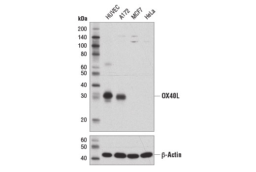 Western blot analysis of extracts from various cell lines using OX40L (D6X2D) Rabbit mAb (upper) and β-Actin (D6A8) #8457 (lower).