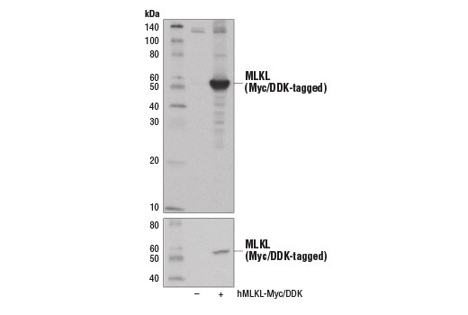 Western blot analysis of extracts from 293T cells, mock transfected (-) or transfected with a construct expressing Myc/DDK-tagged full-length human MLKL protein (hMLKL-Myc/DDK; +), using MLKL (D2I6N) Rabbit mAb (upper) and Myc-Tag (71D10) Rabbit mAb #2278 (lower).