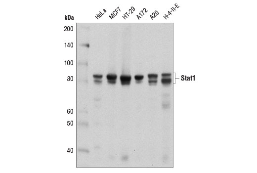 Western blot analysis of extracts from various cell lines using Stat1 (D4Y6Z) Rabbit mAb.
