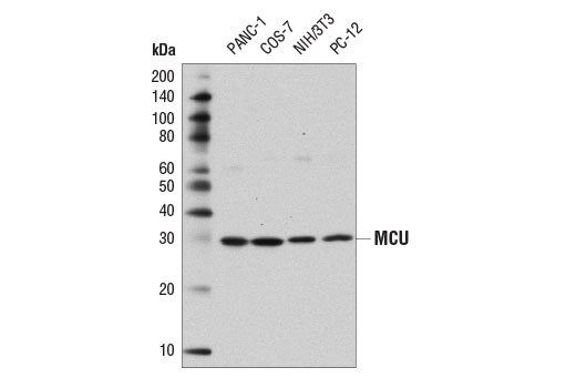 Western blot analysis of extracts from various cell lines using MCU (D2Z3B) Rabbit mAb.