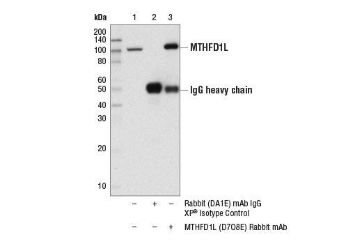 Immunoprecipitation of MTHFD1L from 293 cell extracts. Lane 1 is 10% input, lane 2 is Rabbit (DA1E) mAb IgG XP<sup>®</sup> Isotype Control #3900, and lane 3 is MTHFD1L (D7O8E) Rabbit mAb. Western blot analysis was performed using MTHFD1L (D7O8E) Rabbit mAb.