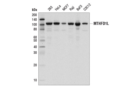 Western blot analysis of extracts from various cell lines using MTHFD1L (D8T7L) Rabbit mAb.