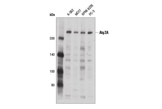 Polyclonal Antibody - Atg2A Antibody - Western Blotting, UniProt ID Q2TAZ0, Entrez ID 23130 #15011, Autophagy Signaling