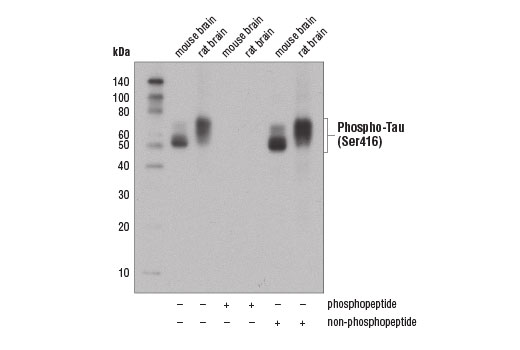 Western blot analysis of extracts from mouse and rat brain using Phospho-Tau (Ser416) (D7U2P) Rabbit mAb. The phospho-specificity of Phospho-Tau (Ser416) (D7U2P) Rabbit mAb was verified by peptide blocking using a phosphopeptide or non-phosphopeptide targeting residue Ser416.