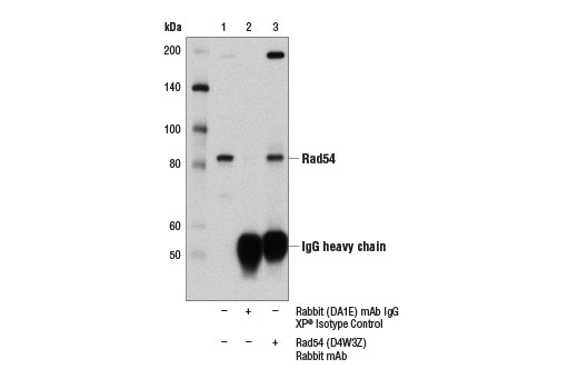 Immunoprecipitation of Rad54 from 293T cell extracts using Rabbit (DA1E) mAb IgG XP<sup>®</sup> Isotype Control #3900 (lane 2) or Rad54 (D4W3Z) Rabbit mAb (lane 3). Lane 1 is 10% input. Western blot was performed using Rad54 (D4W3Z) Rabbit mAb.