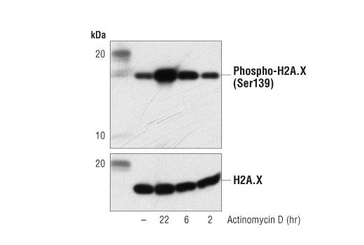 Western blot analysis of extracts from MCF7 cells, untreated (-) or treated with Actinomycin D (1 μM) for the indicated times, using Phospho-Histone H2A.X (Ser139) (20E3) Rabbit mAb #9718 (upper) and Histone H2A.X (D17A3) XP<sup>®</sup> Rabbit mAb #7631 (lower).