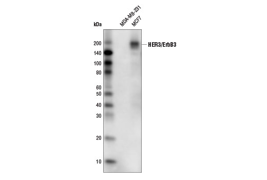 Western blot analysis of extracts from MDA-MB-231 (HER3-) and MCF7 (HER3+) cells using HER3/ErbB3 (D22C5) XP<sup>®</sup>Rabbit mAb(HRP Conjugate).