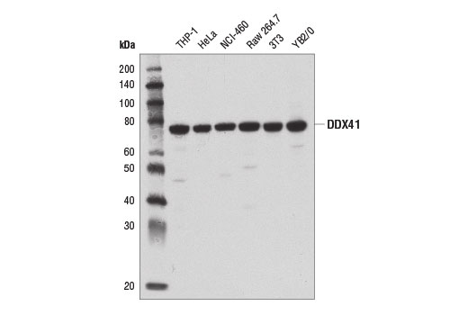 Western blot analysis of extracts from various cell lines using DDX41 (D3F1Z) Rabbit mAb.