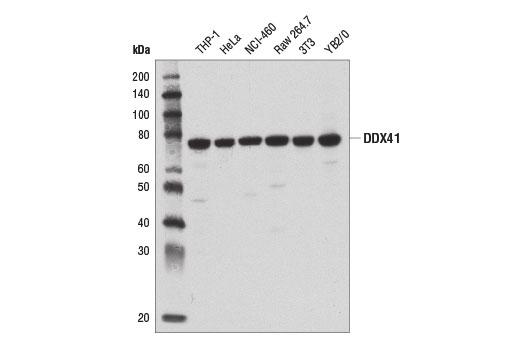 Monoclonal Antibody - DDX41 (D3F1Z) Rabbit mAb - Immunoprecipitation, Western Blotting, UniProt ID Q9UJV9, Entrez ID 51428 #15076 - Primary Antibodies