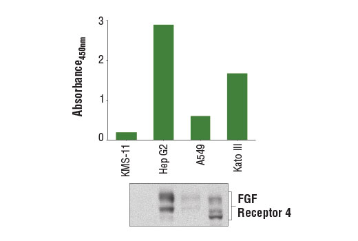 Figure 1. FGF receptor 4 protein is detected from multiple cell lines using the PathScan<sup>®</sup> Total FGF Receptor 4 Sandwich ELISA Kit #15078. The absorbance readings at 450 nm are shown in the top figure, while the corresponding western blot using FGF Receptor 4 (D3B12) XP<sup>®</sup> Rabbit mAb #8562 is shown in the bottom figure.