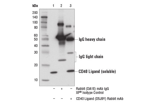 Immunoprecipitation of CD40 ligand from a HeLa cell lysate spiked with recombinant Human CD40 Ligand (hCD40L) #3583 (10 ng/ml) using Rabbit (DA1E) mAb IgG XP<sup>®</sup> Isotype Control #3900 (lane 2) or CD40 Ligand (D5J9Y) Rabbit mAb (lane 3). Lane 1 is 10% input. Western blot was performed using CD40 Ligand (D5J9Y) Rabbit mAb.