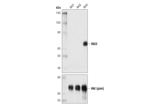 Monoclonal Antibody - Akt3 (E1Z3T) Rabbit mAb - Western Blotting, UniProt ID Q9Y243, Entrez ID 10000 #15097 - Primary Antibodies