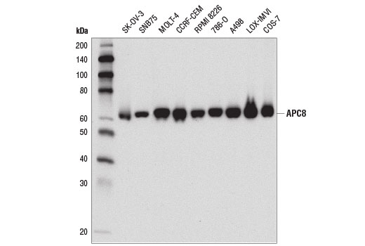 Western blot analysis of extracts from various cell lines using APC8 (D5O2D) Rabbit mAb.