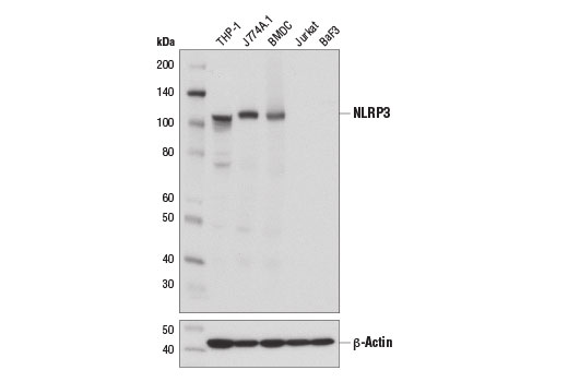 Western blot analysis of extracts from mouse bone marrow-derived dendritic cells (BMDC) and various cell lines using NLRP3 (D4D8T) Rabbit mAb (upper) and β-Actin (D6A8) Rabbit mAb #8457 (lower).