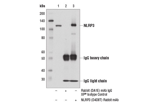 Immunoprecipitation of NLRP3 from J774A.1 cell extracts using Rabbit (DA1E) mAb IgG XP<sup>®</sup> Isotype Control #3900 (lane 2) or NLRP3 (D4D8T) Rabbit mAb (lane 3). Lane 1 is 10% input. Western blot analysis was performed using NLRP3 (D4D8T) Rabbit mAb.