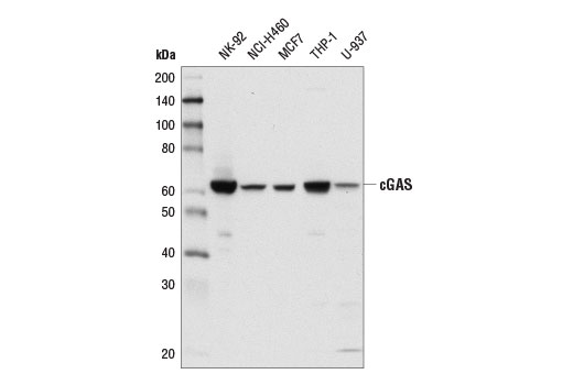 Image 3: Human-Reactive STING Pathway Antibody Sampler Kit