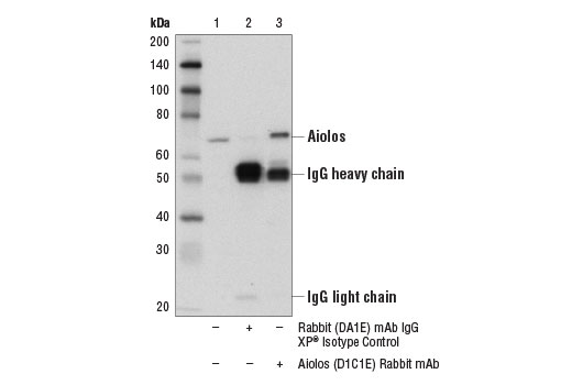 Immunoprecipitation of Aiolos from HT-29 cell extracts. Lane 1 is 10% input, lane 2 is Rabbit (DA1E) mAb IgG XP<sup>®</sup> Isotype Control #3900, and lane 3 is Aiolos (D1C1E) Rabbit mAb. Western blot analysis was performed using Aiolos (D1C1E) Rabbit mAb.