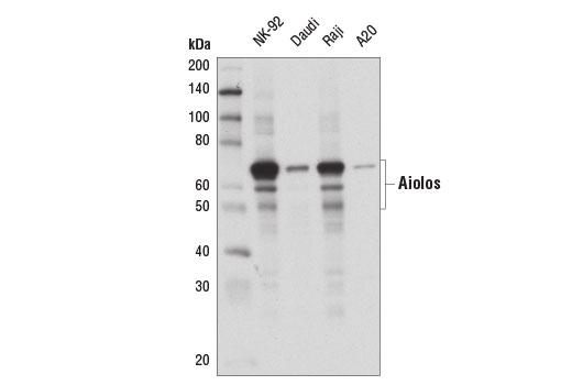 Western blot analysis of extracts from various cell lines using Aiolos (D1C1E) Rabbit mAb.