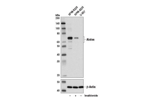 Western blot analysis of extracts from U-937 cells and RPMI-8226 cells, untreated (-) or lenalidomide-treated (2 μM, 24 hr; +), using Aiolos (D1C1E) Rabbit mAb (upper) and β-Actin (D6A8) Rabbit mAb #8547 (lower).