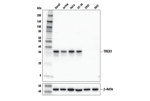 Western blot analysis of extracts from various cell lines using TREX1 (D8E2O) Rabbit mAb (upper) or β-Actin (D6A8) Rabbit mAb #8457 (lower).