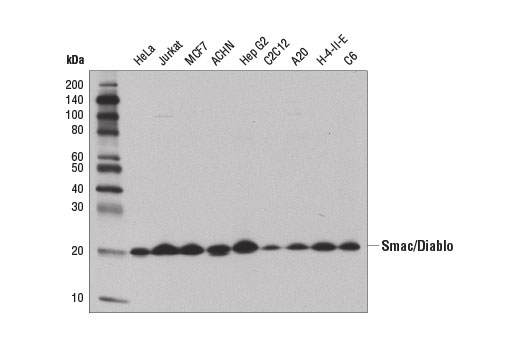 Western blot analysis of extracts from various cell lines using Smac/Diablo (D5S3R) Rabbit mAb.