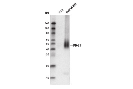 Western blot analysis of extracts from PC-3 and KARPAS-299 cells using PD-L1 (E1L3N<sup>®</sup>) XP<sup>®</sup>Rabbit mAb (Biotinylated). KARPAS cell line source: Dr. Abraham Karpas at the University of Cambridge.