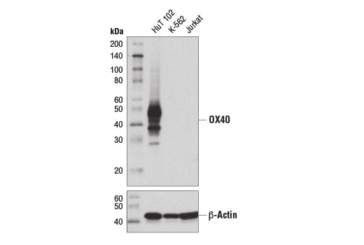 Monoclonal Antibody - OX40 (D4N3K) Rabbit mAb - Western Blotting, UniProt ID P43489, Entrez ID 7293 #15122, Lymphocyte Signaling