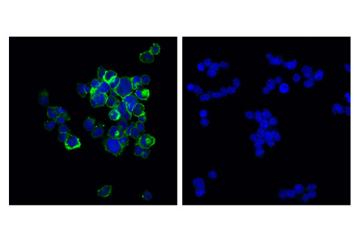 Immunofluorescence Image 1: OX40 (D1S6L) Rabbit mAb
