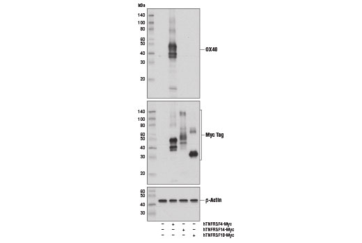 Western blot analysis of extracts from COS-7 cells, mock transfected (-) or transfected with a construct expressing Myc-tagged full-length human OX40 protein (hTNFRSF4), HVEM protein (hTNFRSF14), or GITR protein (hTNFRSF18), using OX40 (D1S6L) Rabbit mAb (upper), Myc-Tag (71D10) Rabbit mAb #2278 (middle), and β-Actin (D6A8) Rabbit mAb #8457 (lower).