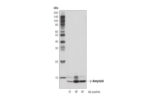 Western blot analysis of human Aβ-37, Aβ-40, and Aβ-42 peptides using β-Amyloid (D3D2N) Mouse mAb.