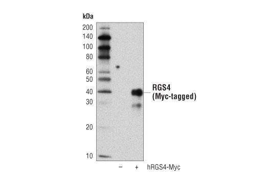 Monoclonal Antibody - RGS4 (D4V1P) Rabbit mAb - Immunoprecipitation, Western Blotting, UniProt ID P49798, Entrez ID 5999 #15129, Neuroscience