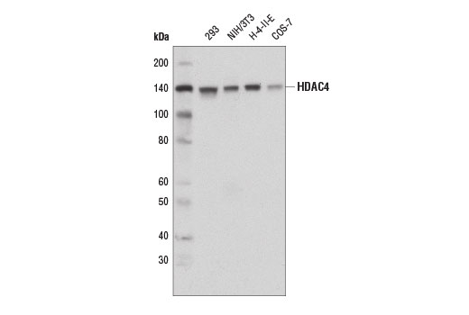 Western blot analysis of extracts from various cell lines using HDAC4 (D8T3Q) Rabbit mAb.