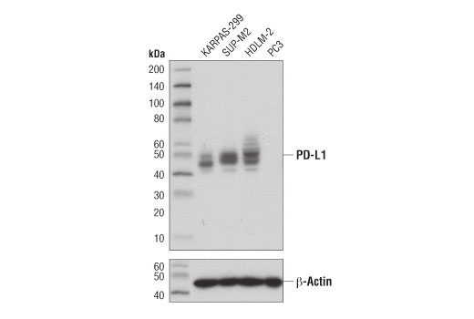 Western Blotting Image 1: PD-L1 (Extracellular Domain Specific) (E1J2J™) Rabbit mAb