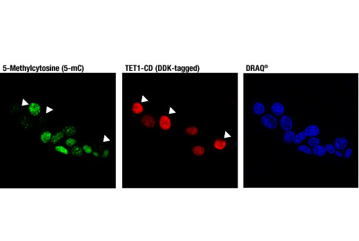 Immunofluorescence Image 1: 5-Methylcytosine (5-mC) (D3S2Z) Rabbit mAb