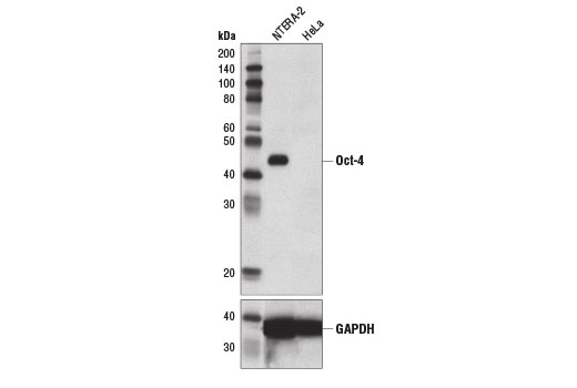 Western blot analysis of extracts from NTERA-2 and HeLa cells using Oct-4 (D7O5Z) Mouse mAb (upper) and GAPDH (D16H11) XP<sup>®</sup> Rabbit mAb #5174 (lower). As expected, HeLa cells are negative for Oct-4 expression.