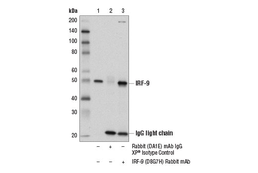Immunoprecipitation of IRF-9 from THP-1 cell extracts. Lane 1 is 10% input, lane 2 is Rabbit (DA1E) mAb IgG XP<sup>®</sup> Isotype Control #3900, and lane 3 is IRF-9 (D8G7H) Rabbit mAb. Western blot analysis was performed using IRF-9 (D8G7H) Rabbit mAb.