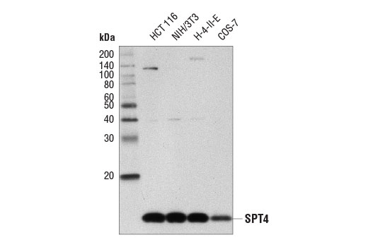 Western blot analysis of extracts from various cell lines using SPT4 (D3P2W) Rabbit mAb.