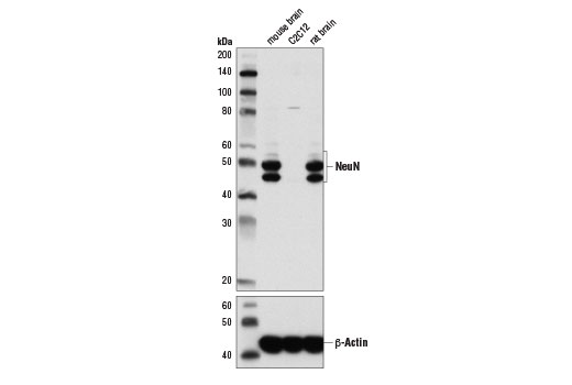Western blot analysis of extracts from mouse brain, C2C12 cells, and rat brain using NeuN (D4G4O) XP<sup>®</sup> Rabbit mAb (upper) and β-Actin (D6A8) Rabbit mAb #8457 (lower).