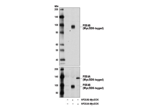 Western blot analysis of extracts from 293T cells, mock transfected (-) or transfected with constructs expressing Myc/DDK-tagged full-length human PDE4B protein (hPDE4B-Myc/DDK; +) or Myc/DDK-tagged full-length human PDE4A protein (hPDE4A-Myc/DDK; +), using PDE4B (D7R1Y) Rabbit mAb (upper) and Myc-Tag (71D10) Rabbit mAb #2278 (lower).
