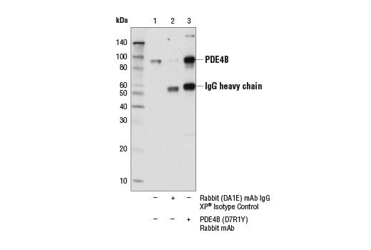 Immunoprecipitation of PDE4B from mouse brain extracts. Lane 1 is 10% input, lane 2 is Rabbit (DA1E) mAb IgG XP<sup>®</sup> Isotype Control #3900, and lane 3 is PDE4B (D7R1Y) Rabbit mAb. Western blot analysis was performed using PDE4B (D7R1Y) Rabbit mAb.