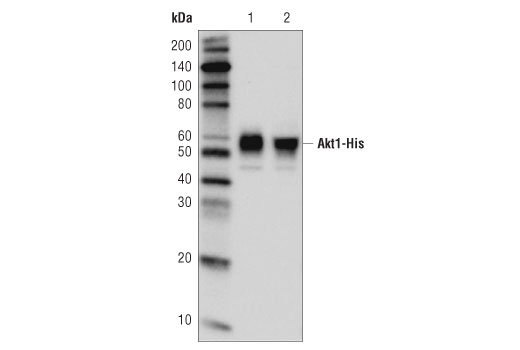 Monoclonal Antibody - His-Tag (D3I1O) XP® Rabbit mAb (Sepharose® Bead Conjugate) - 400 µl #82437 - Related Products