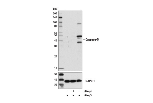 Western blot analysis of extracts form 293T cells, mock transfected (-) or transfected with constructs expressing full-length human caspase-4 protein (hCasp4; +) or caspase-5 protein (hCasp5; +), using Caspase-5 (D3G4W) Rabbit mAb (upper) and GAPDH (D16H11) XP<sup>®</sup> Rabbit mAb #5174 (lower).