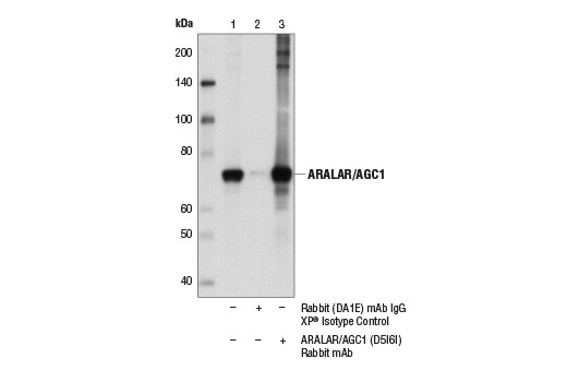 Immunoprecipitation of ARALAR/AGC1 from mouse brain extracts. Lane 1 is 10% input, lane 2 is Rabbit (DA1E) mAb IgG XP<sup>®</sup> Isotype Control #3900, and lane 3 is ARALAR/AGC1 (D5I6I) Rabbit mAb (lane 3). Western blot analysis was performed using ARALAR/AGC1 (D5I6I) Rabbit mAb.