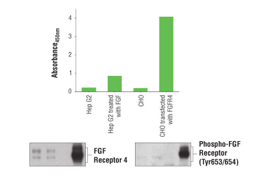 Figure 1: Treatment of Hep G2 cells with Human FGF acidic (hFGF acidic) #5234 stimulates tyrosine phosphorylation of FGF receptor 4 protein, which can be detected by the PathScan<sup>®</sup> Phospho-FGF Receptor 4 (panTyr) Sandwich ELISA Kit. This kit can also detect the high level of tyrosine-phosphorylated FGF receptor 4 from CHO cells that are transfected with human FGF receptor 4 protein. The absorbance readings at 450 nm are shown in the top figure while corresponding western blots using FGF Receptor 4 (D3B12) XP<sup>®</sup> Rabbit mAb #8562 (left) and Phospho-FGF Receptor (Tyr653/654) (55H2) Mouse mAb #3476 (right) are shown in the bottom figure.